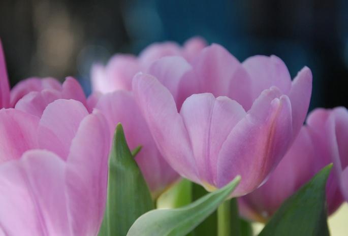 Розовые обои весна 370 обои цветы 1321