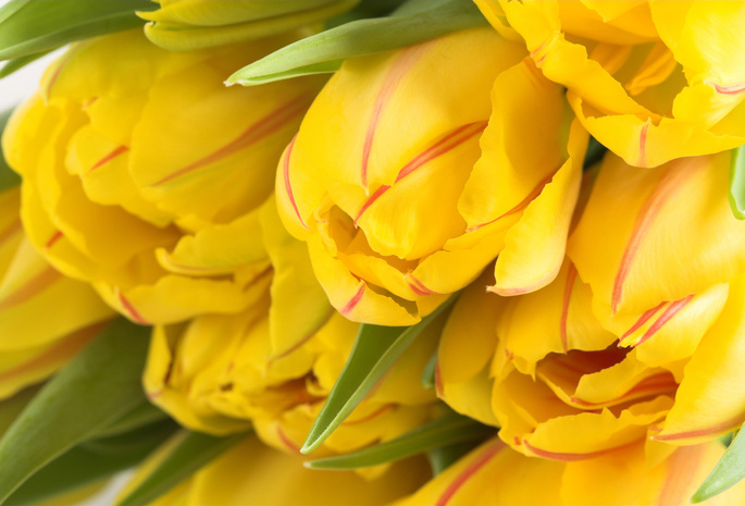 Весенние обои тюльпаны цветы желтый