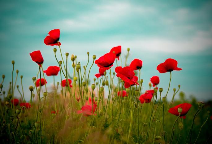 Природа поле цветы красный маки