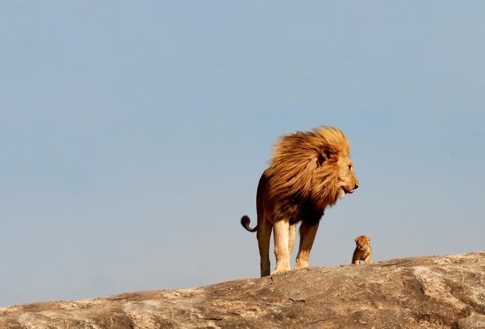 Детёныш 8 обои лев 111 дикие кошки обои