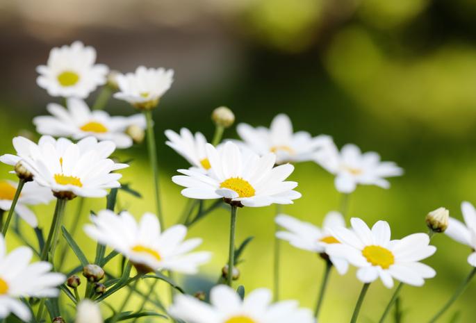 Ромашки бутоны природа лето цветы
