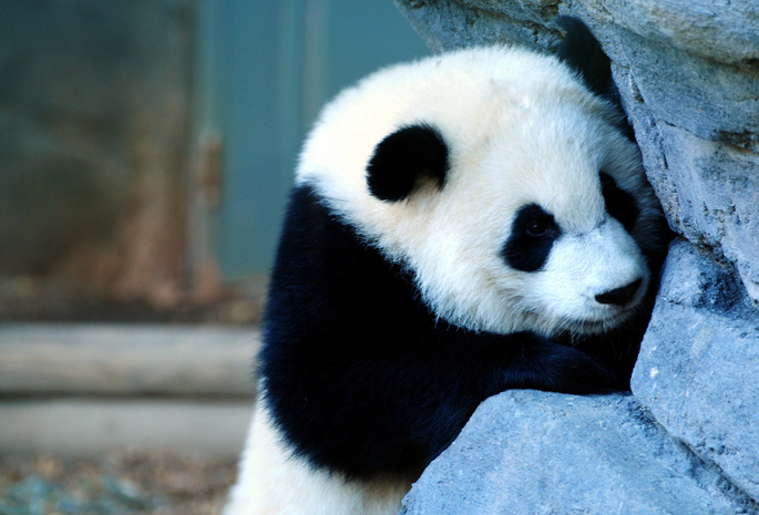 камень, морда, Панда.