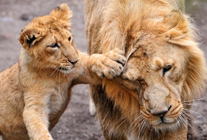 Обои львёнок 11 обои животные 181