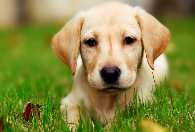 На рабочий стол трава собака щенок