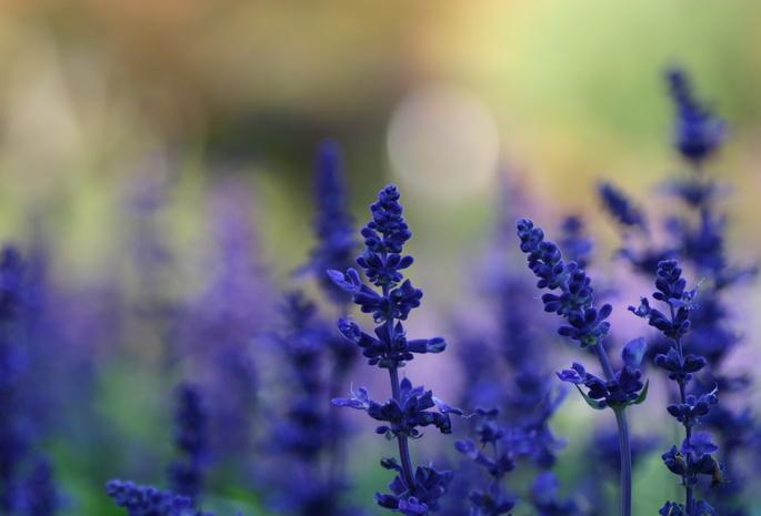 фото синих цветов: