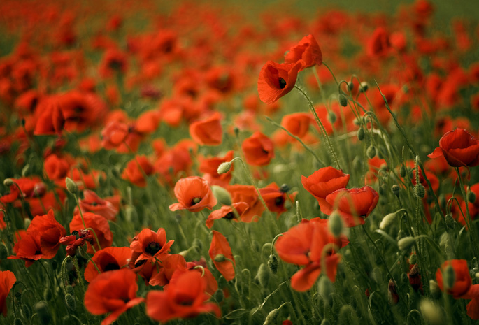 Poppy field red маки размытость поле