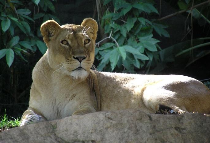 Обои лежи� л�ви�а камен� Лев ли��ва �мо��и� для