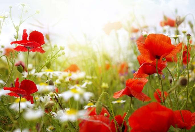 Цветы обои лето 523 обои маки 87