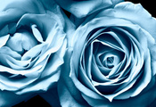 розы, lara vilya, flowers, цветы, blue rose, Frosty roses, beautiful nature ...
