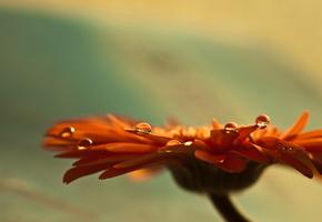 гербера, фокус, бутон, flowers, Цветы, макро, лепестки