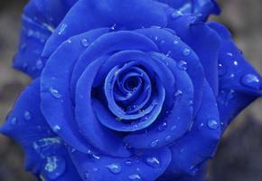 синяя, капельки, Роза