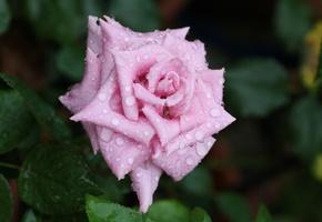 лепестки, цветок, бутон, вода, капли, rose, роса, Роза