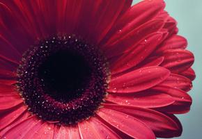вода, гербера, лепестки, Цветы, макро, фокус, flowers, бутон