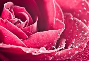 лепестки, бутон, капли, цветок, Роза, макро