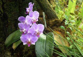 beautiful nature wallpapers, Orchid, forest, flowers, american orchid society, phalaenopsis