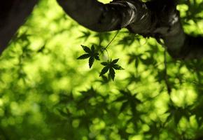 фото листья клен