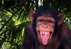 Monkey, Chimpanzee, Jungle, Funny
