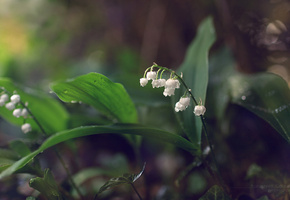 �����, �������, lilies of the valley