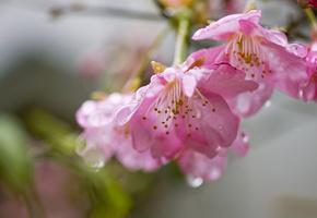Цветы, ветка, сакура, розовые, капли, вишня, лепестки