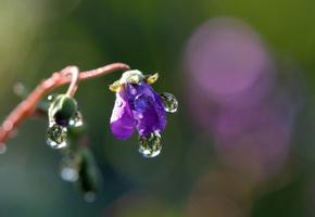 фиалка, цветок, влага, капля, крупный план