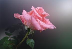 роза, капельки, влага, капли