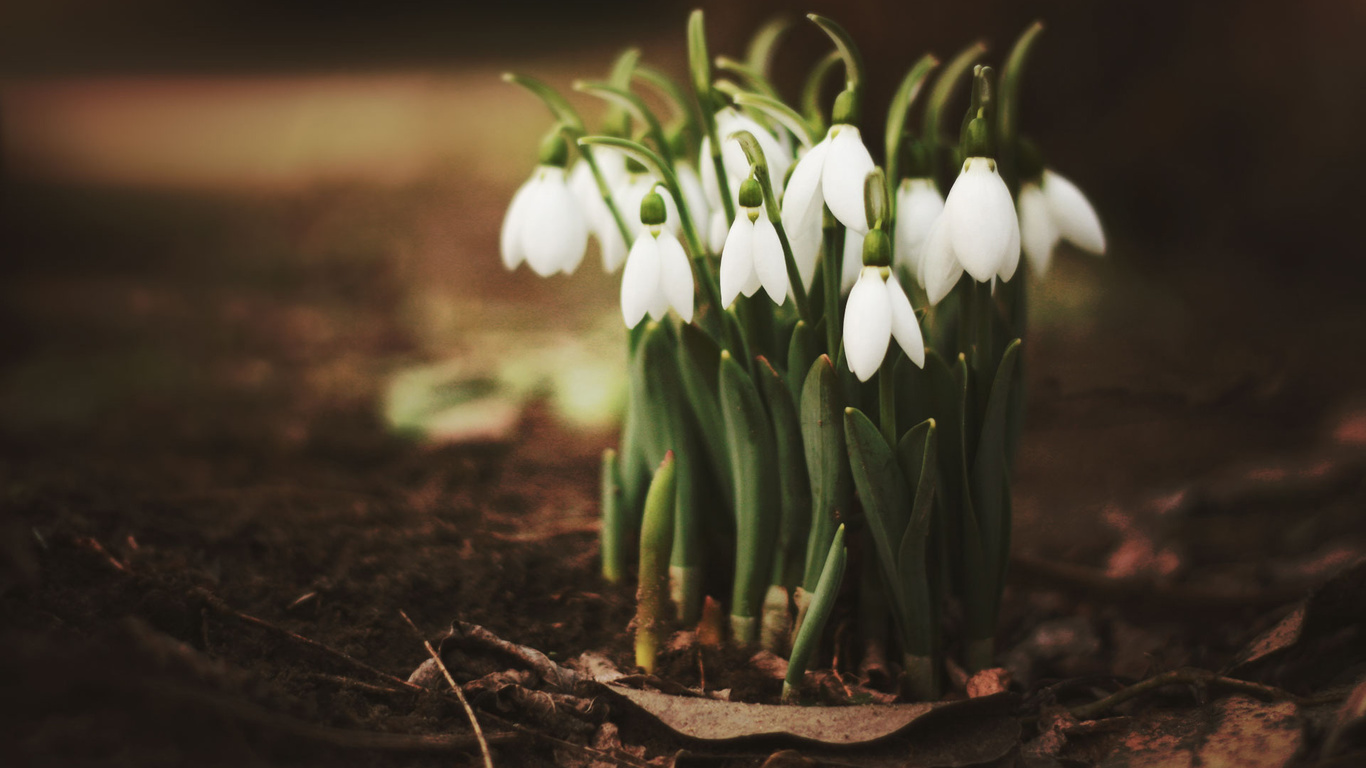 Wallpapers spring leaves snowdrops flowers photo flowers